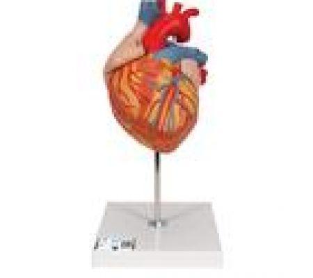 G12_01_140_140_Human-Heart-Model-2-times-Life-Size-4-part-3B-Smart-Anatomy.jpg